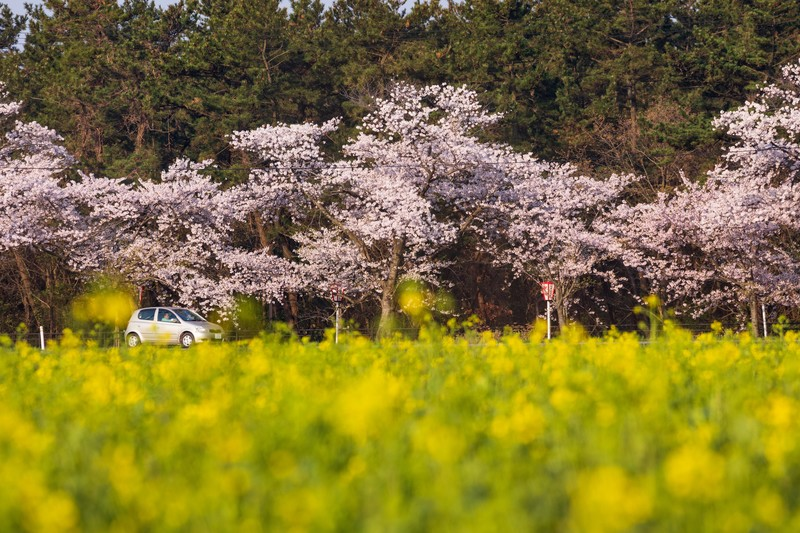 早春の桜と菜の花