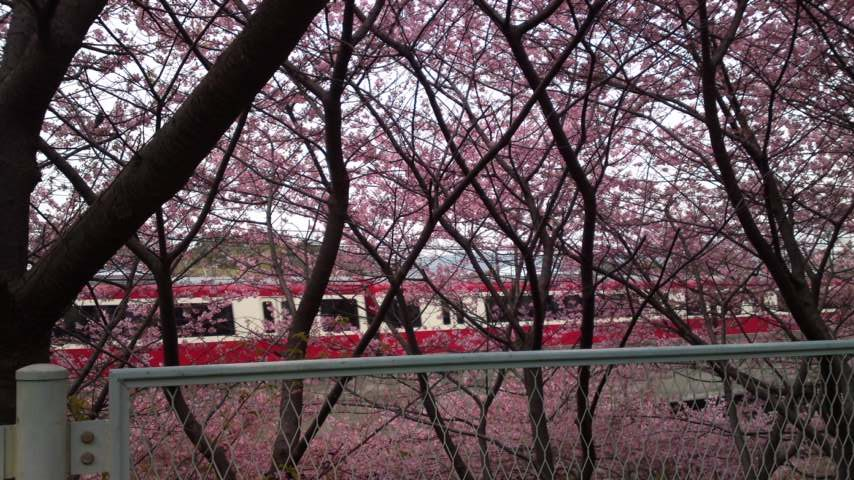 京急と河津桜